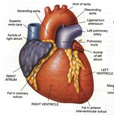 Human Heart Diagram Labeled Craftbrewswagfo